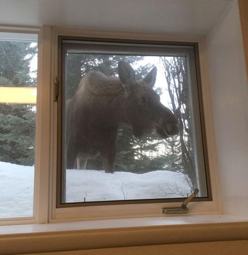 A moose peeking into the window.