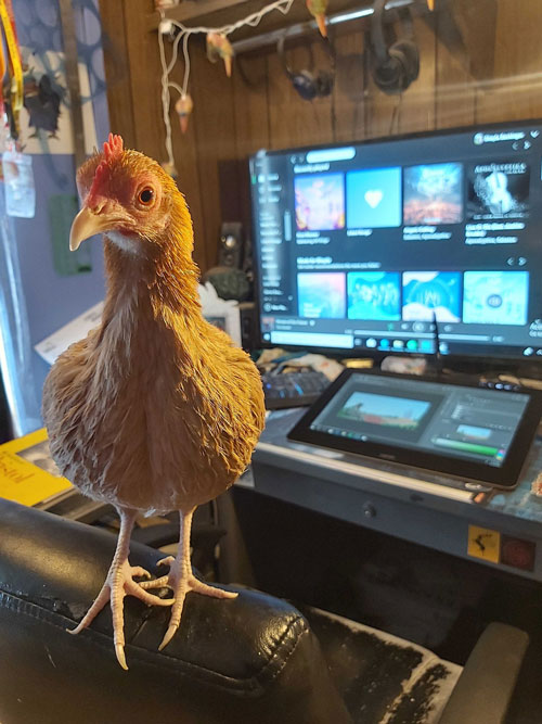 A chicken standing on the back of a chair.